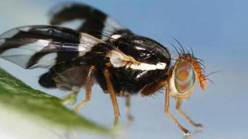 Apple Maggot Fly