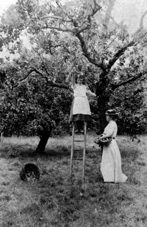 vintage apple picking photo